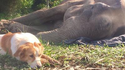 大象朋友將離世 狗狗緊伴身旁9小時「只為好好說再見」