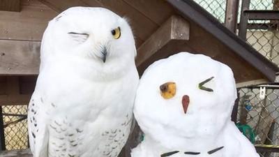 動物園奇蹟!雪鴞表情和雪人「完全對稱」,嘿美牠笑得好燦爛呀