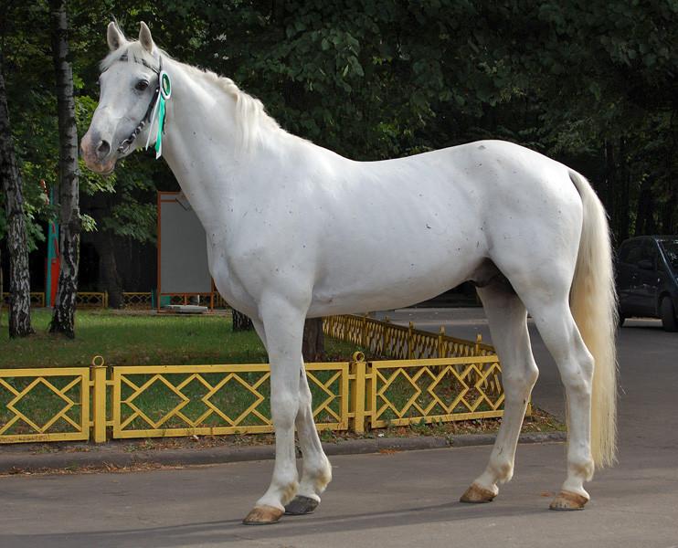 ▲▼奧爾洛夫快步馬(圖/翻攝自Wikipedia)