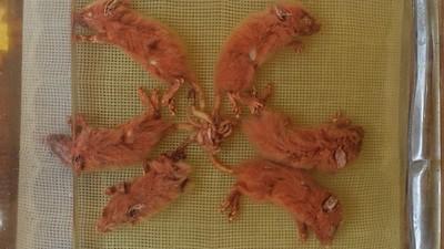 32隻纏成生命共同體!「恐怖鼠王」每次降世敲響瘟疫喪鐘