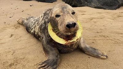 海洋垃圾惹的禍!小海豹遭飛盤套頸半年 塑膠溝槽內血肉混成泥