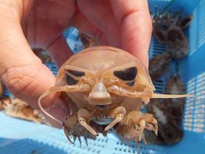 捐款政府送「活的深海具足蟲」!兩隻一組直接低溫宅配給你唷♥