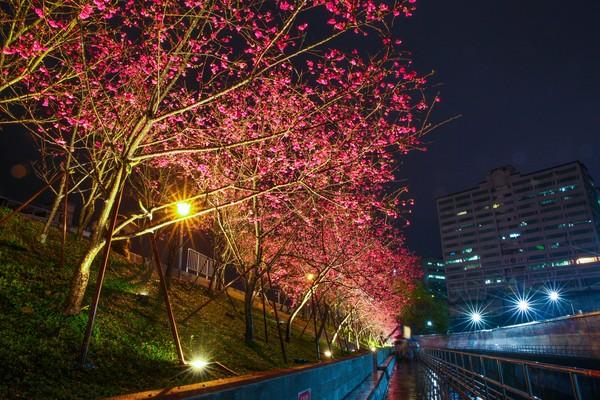 市區最美賞櫻地!「內湖樂活夜櫻季」1/30開跑 搶拍3公里粉色大道