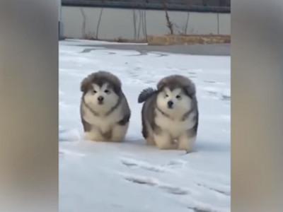 根本是一群饅頭!阿拉斯加雪橇幼犬整團出遊,像碰了就會滾一圈