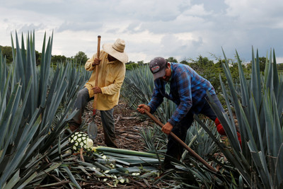 龍舌蘭不釀酒!糖廠種它綠能發電