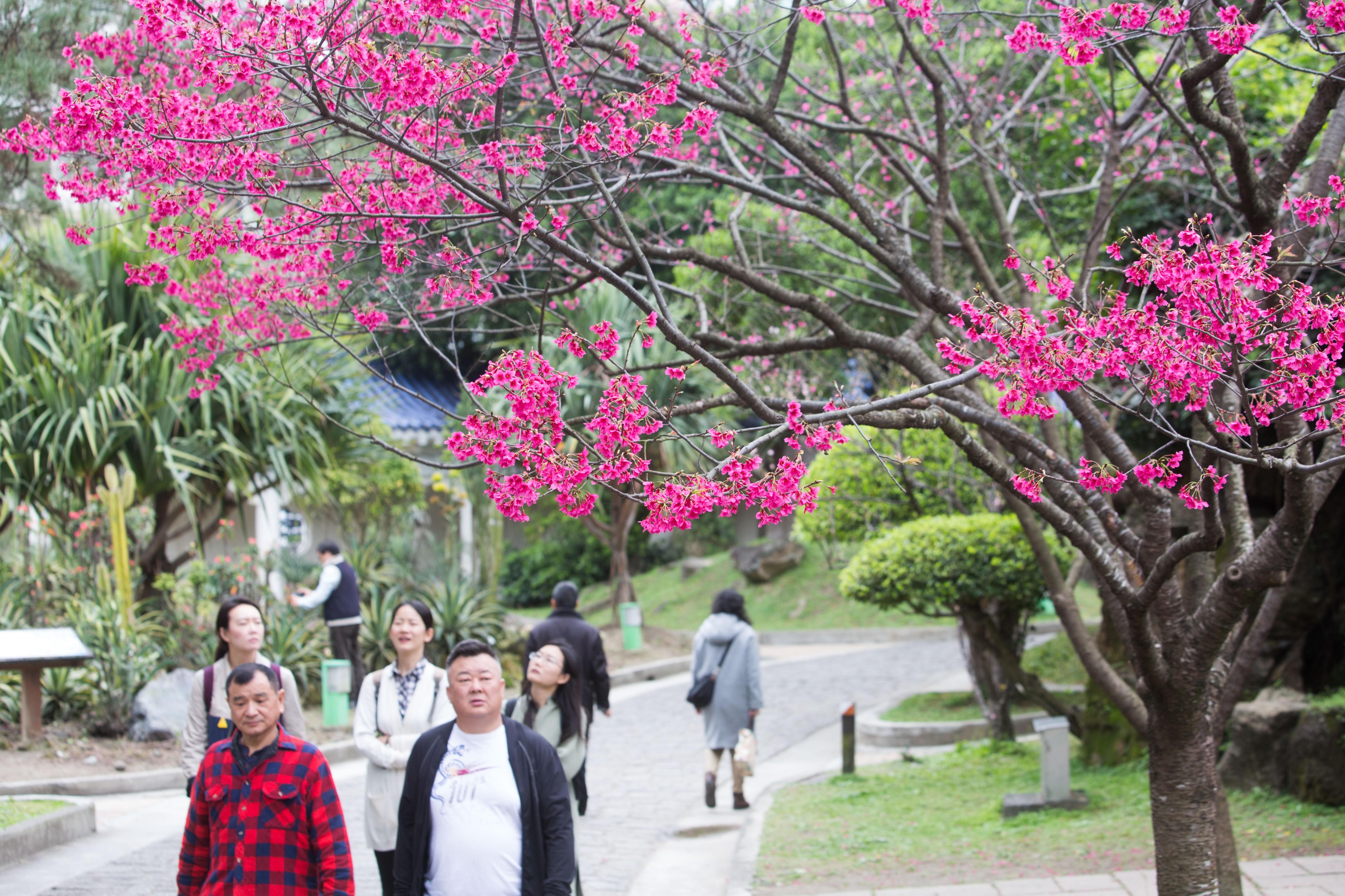 ▲▼賞櫻,櫻花,中正紀念堂,賞花。(圖/記者季相儒攝)