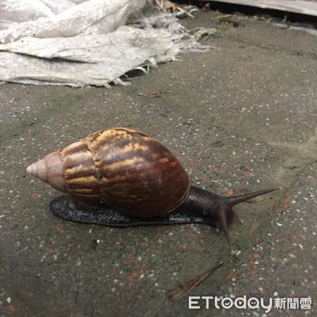 非洲大蝸牛、蝸牛。(圖/資料照/記者陳弘修攝)