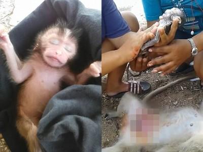 母猴屍肚皮有動靜!暖女不懂醫術一刀劃開 3分鐘救活猴寶寶