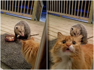 一臉委屈!飼料被負鼠霸佔 俗辣橘貓眼巴巴望主人:奴才你看牠啦