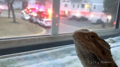 我家蜥蜴殺人了?窗外傳來警車聲 牠淡定轉頭嚇壞媽媽