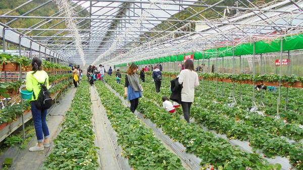 ▲內湖草莓季開跑。(圖/台北市政府產業發展局提供)