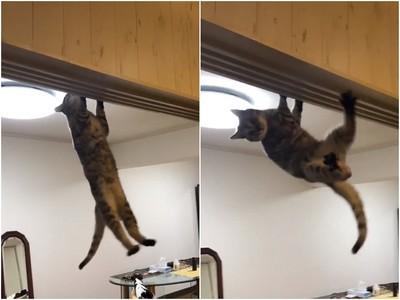 忍者喵出沒!貓咪爬門框吊單槓 網笑:可參加極限體能王