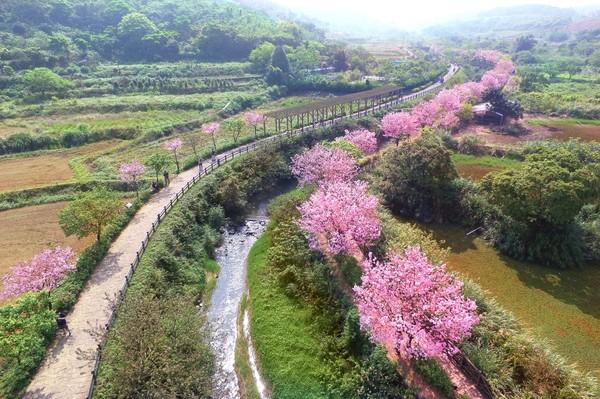 ▲2018三芝櫻花季。(圖/翻攝自新北市政府綠美化環境景觀處網站)