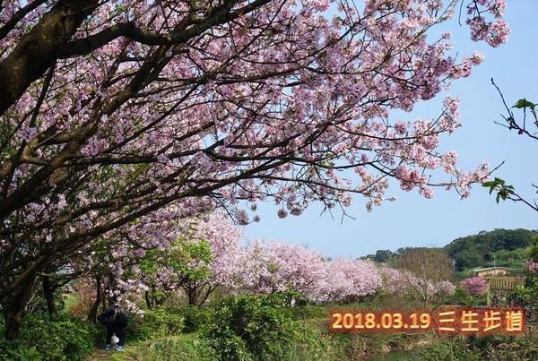 ▲2018櫻花季健行-春櫻傳情 花現幸福活動。(圖/翻攝自新北市三芝區公所粉絲專頁)