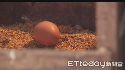 小蛋較好吃?好雞蛋6大迷思破解