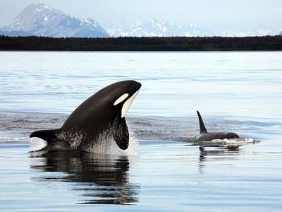 鯨族謀殺事件!虎鯨母子逐殺同類幼崽 挾持3小時「撕票」