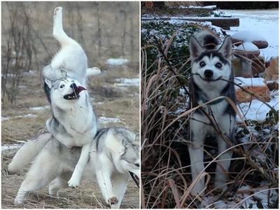 發現被騙一秒變臉!狗界諧星哈士奇「戲胞」全開 365天都在耍寶