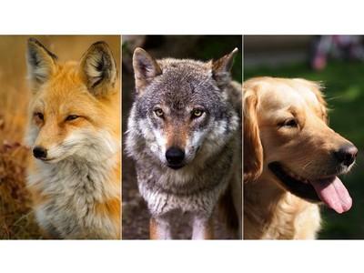 你的靈魂是哪種犬科動物?7題測出你是狗、是狼還是狐狸