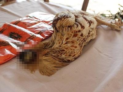 泰無頭雞苦撐9天 細菌感染死亡