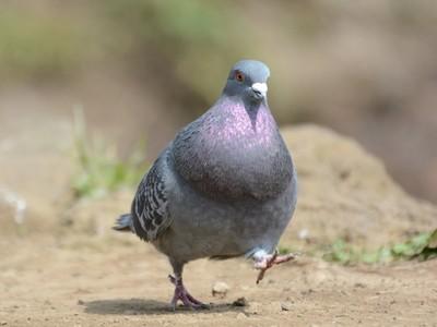 肥也要保持優雅!鴿子「球上兩根美腿」超可愛,走路就像大佬出巡