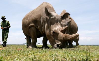 復育2個北白犀胚胎 南方白犀牛當代理孕母