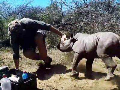 「還沒長角」就想保護媽媽!犀牛寶寶猛衝撞獸醫 不准人類靠近