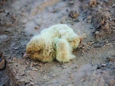 萬隻小雞活埋4小時死透了!養雞場貨車翻覆 沙土中露出僵硬雞爪
