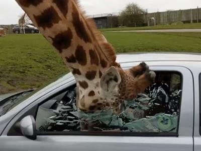 伸脖討吃慘遭夾頭!遊客不當餵食突關窗 長頸鹿撞爆玻璃