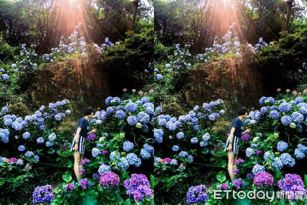▲▼台灣女網友「香菇」一張在陽明山的繡球花照片,獲Instagram官方帳號選為PO文,短短3天超過145萬網友按「喜歡」。(圖/香菇授權提供)