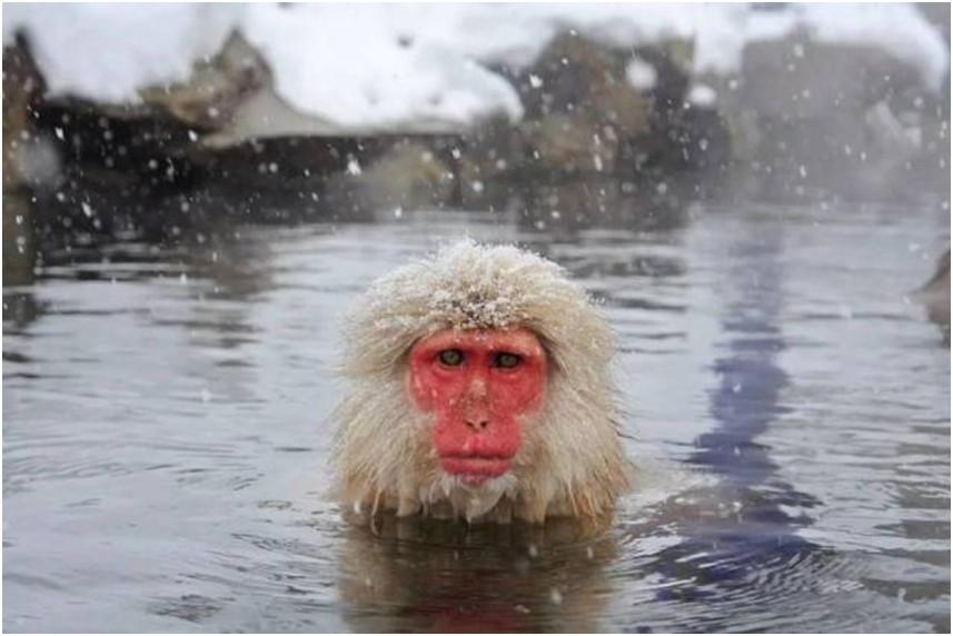 ▲▼雪猴泡溫泉(圖/ifuun)