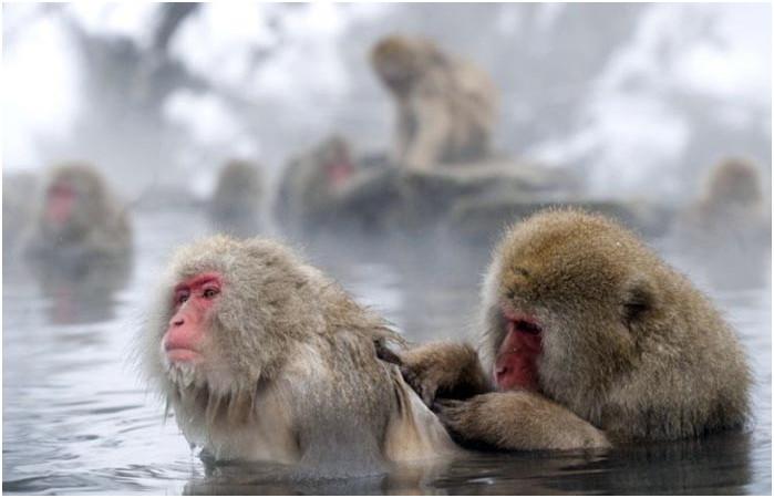 ▲▼雪猴泡溫泉(圖/travel.china)