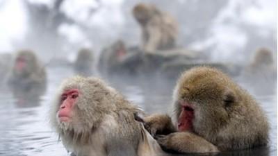 不只人愛泡湯!雪猴靠溫泉紓解憂鬱,邊緣猴還不能泡
