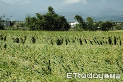 適時適量施穗肥 預防稻熱病