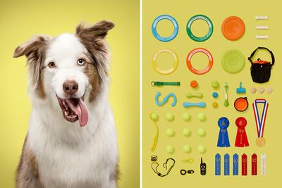 一張照片出賣「牠的狗生」 頑固鬥牛犬的私房小物:全是啃爛牙印