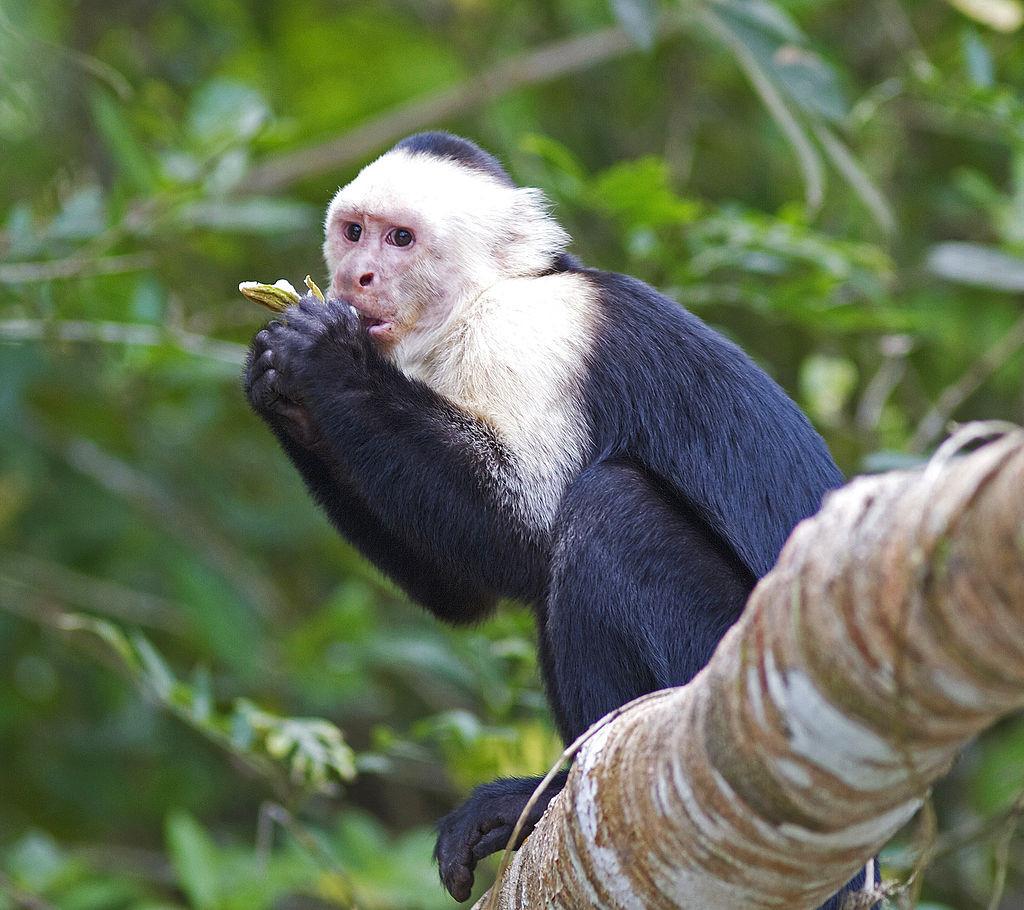 ▲▼捲尾猴(圖/Wikipedia)