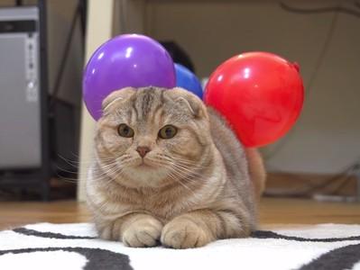 奴才的反擊!貓主子被「靜電氣球」黏緊緊…還不快幫朕拿下來