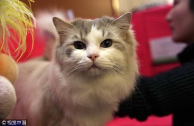 米克斯柴犬布偶貓 寵物險疼兒