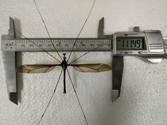 ▲▼四川發現世界最巨型蚊子,翅展達11cm。(圖/翻攝自封面新聞)