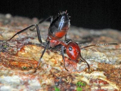毒爆一波流!「爆炸蟻」撕裂腹部濺出汁液 黏住入侵者瞬間毒死