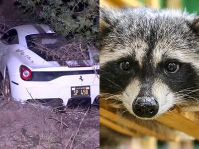 撞爛法拉利救「三寶浣熊」!暖男車墜山坡只問一句:牠沒事吧