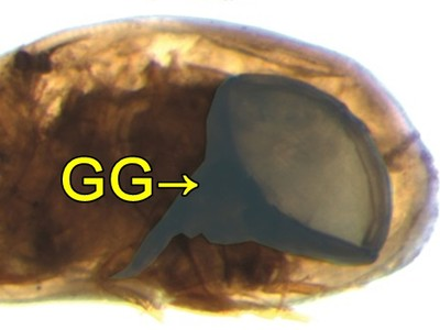 GG太大越早絕種?介形蟲陰莖是身長6倍 滅絕速度卻快10倍