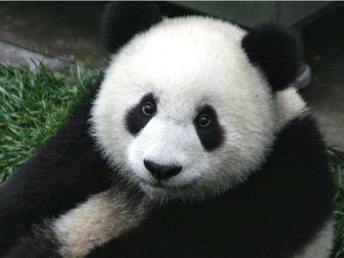 熊貓顯圖(圖/取自免費圖庫Pixabay)