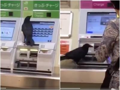 飛累了搭電車?烏鴉學人亂戳售票機 下一秒搶隔壁信用卡亂督