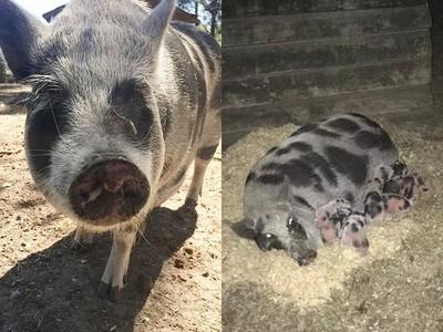 「長太肥不養了」善心女買下被棄養老豬 某晚聽見後院傳出哭聲