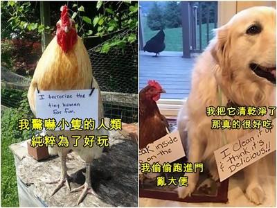 IG引爆「#羞愧小雞」運動!主人痛訴寵物惡行…但牠們還是無所謂呀