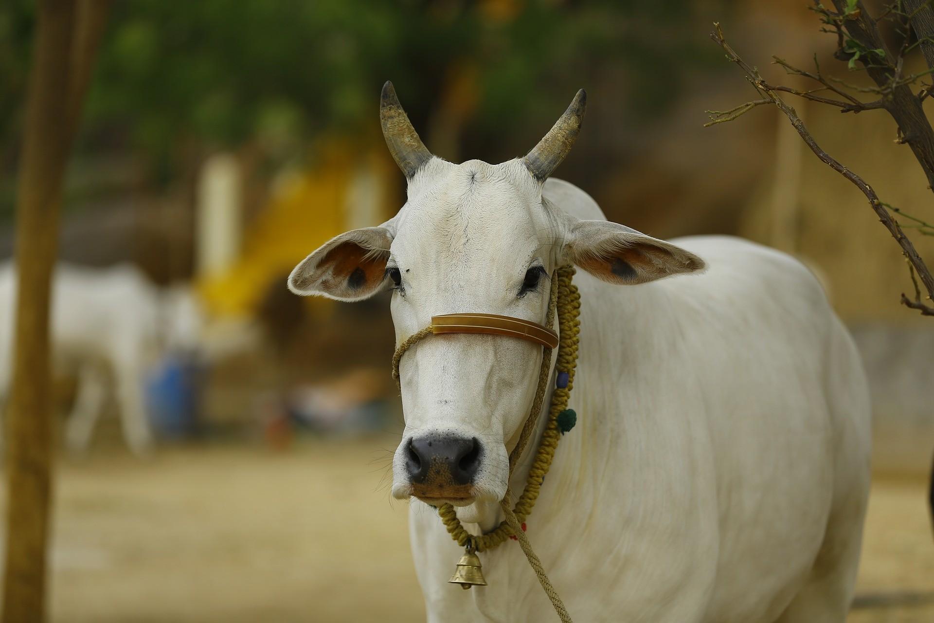印度牛(圖/取自免費圖庫Pixabay)