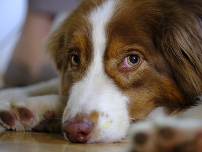 CIA曾研發遙控犬 用電操控狗奔跑