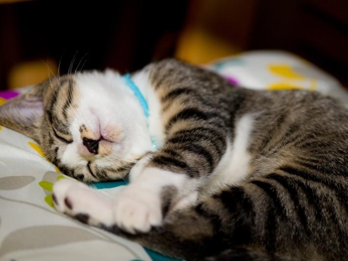 ▲▼貓,喵星人,貓咪,疲勞,過勞,累,睡覺,睡眠,失眠(圖/取自免費圖庫Pakutaso)