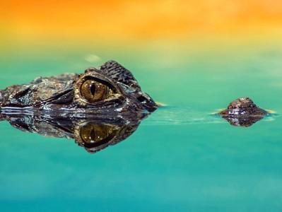 每次經過兒子都在看鱷魚圖鑑 別傻了,他在偷看A漫