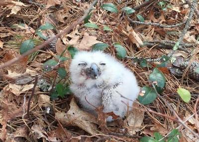 小貓頭鷹掉出巢 他們做出最冒險決定